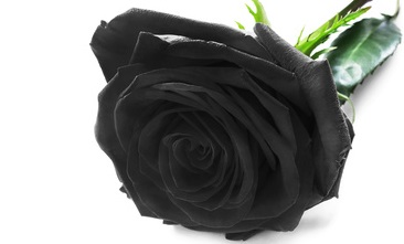 So Black the RoseSo Black the Rose